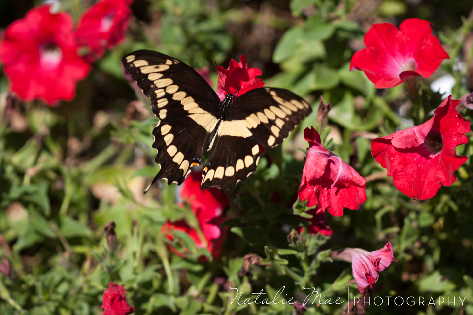 A gorgeous butterfly flutters about the flower garden.