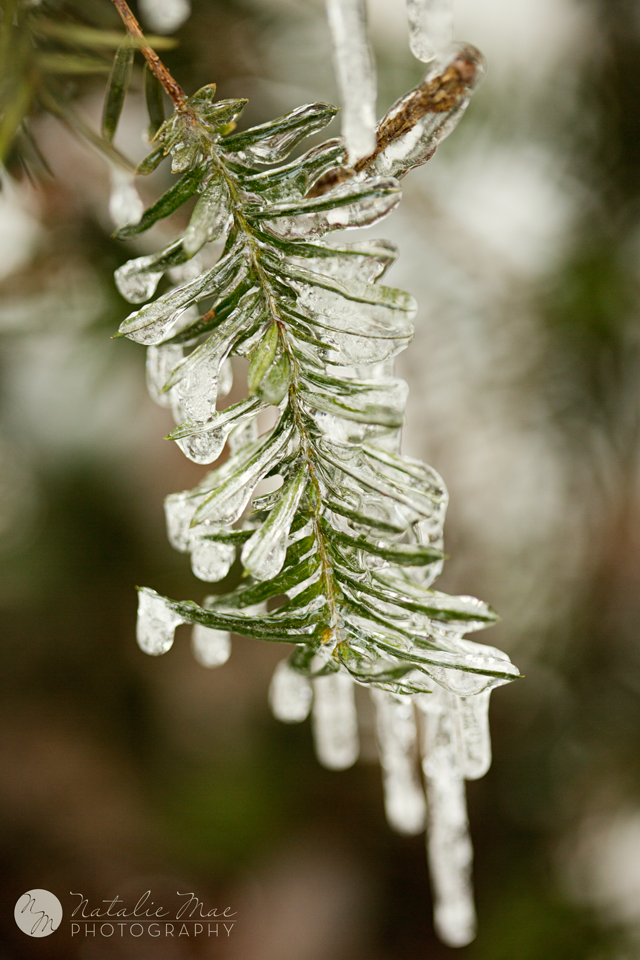 Pine bush frozen in an sheet of ice.