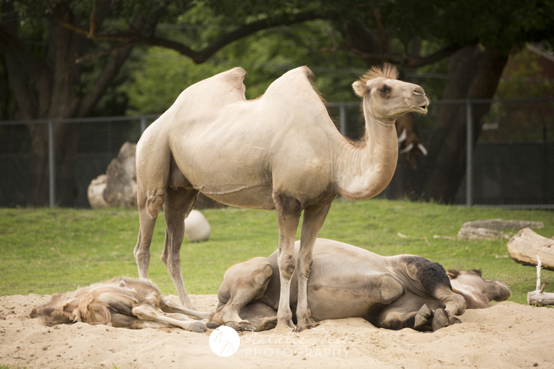 Camels just chilling in the sand at the Detroit Zoo.